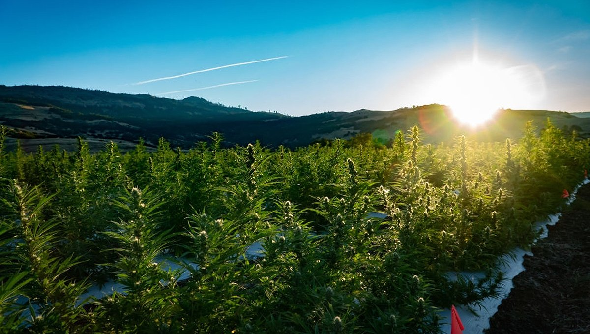 Growing Autoflowering Cannabis Outdoors: cannabis plants outdoors