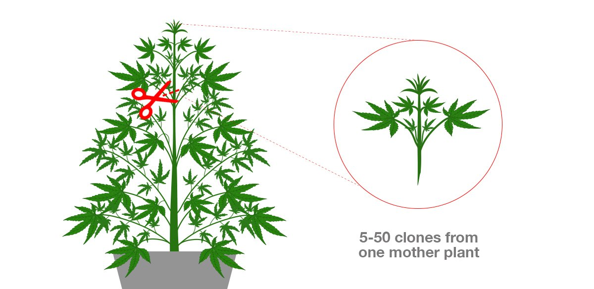 How To Maintain A Perpetual Harvest: taking clones