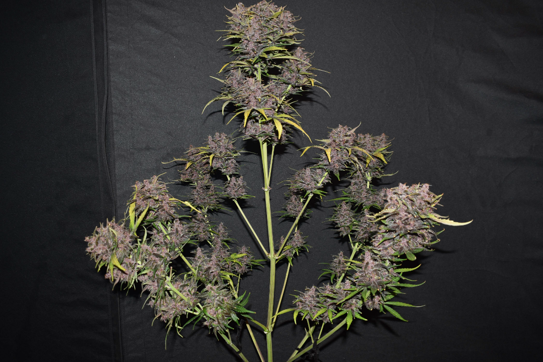 tripaholic88's Fast Buds' Blackberry.png