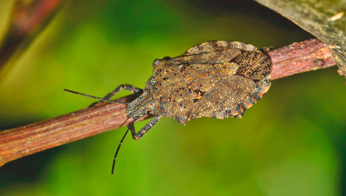 Stink bugs are a common pest found in cannabis plants.