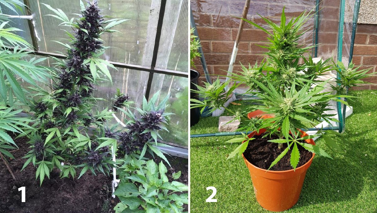 Outdoor cannabis grow in Italy: week 9 of plant growth