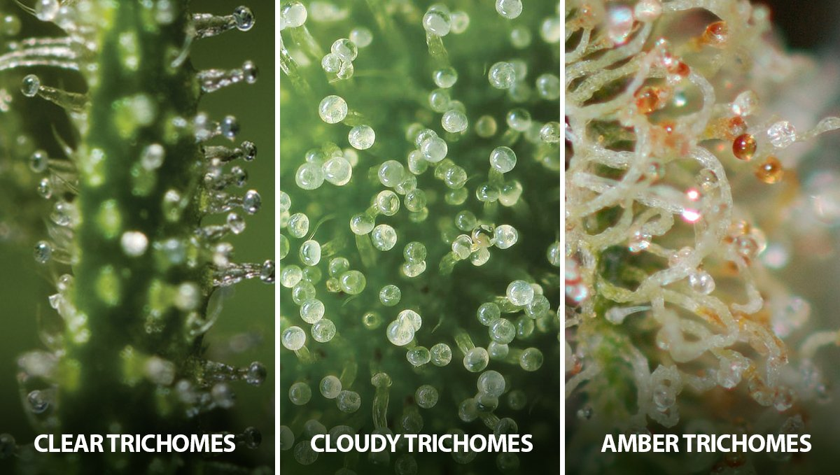 Autoflowering Cannabis: states of the trichomes
