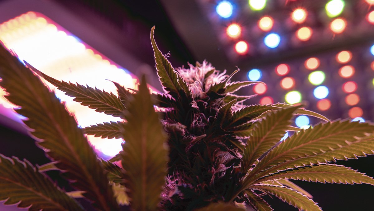 Grow Autoflowers with LEDs: leds with better features