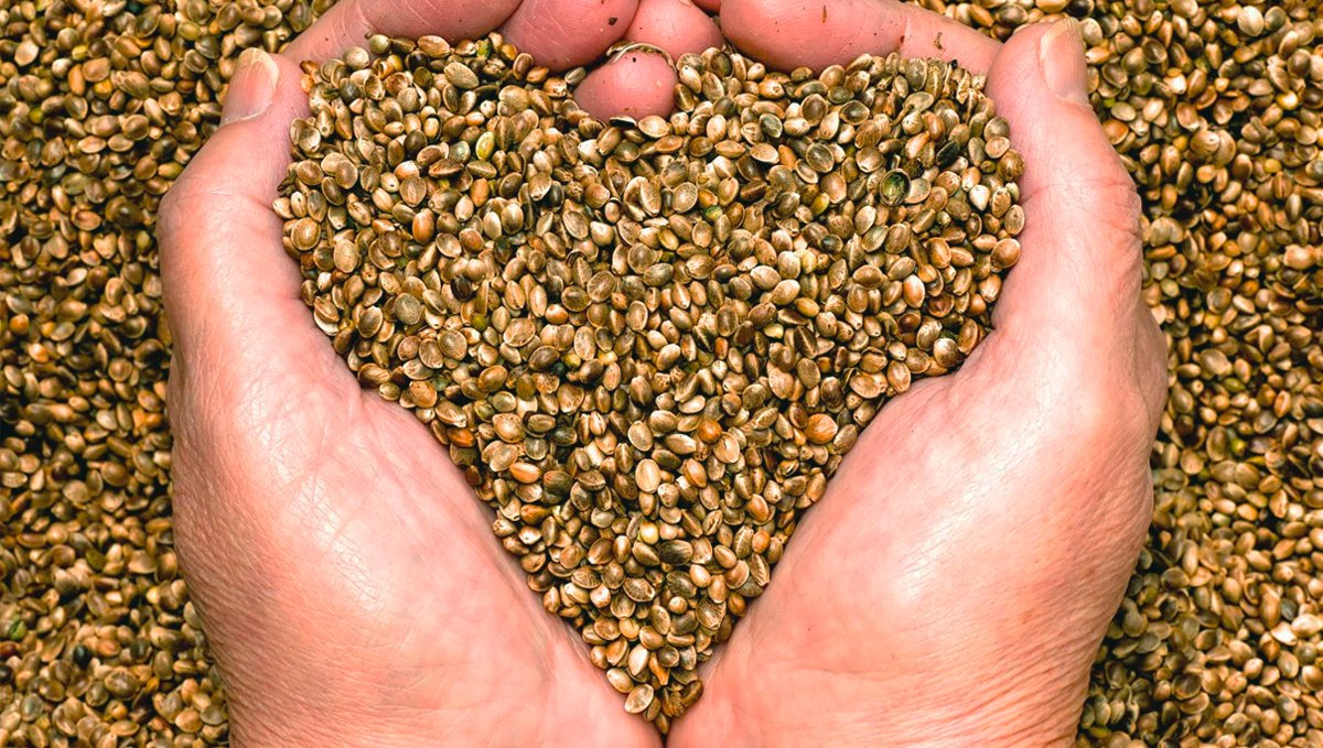 Hemp seeds could prevent heart disease.