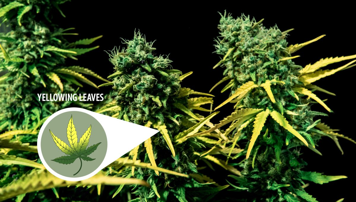 Harvest Your Autoflowering Cannabis: yellowing leaves