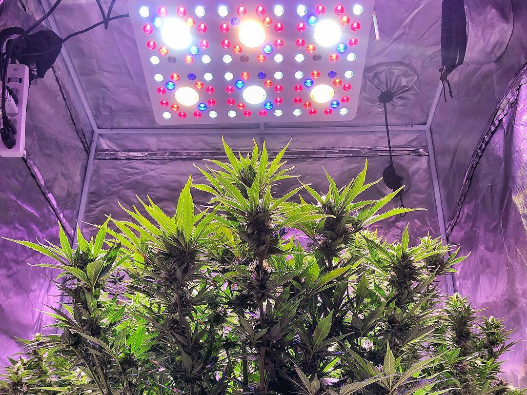 Fast Buds Tangie'Matic under LED lights