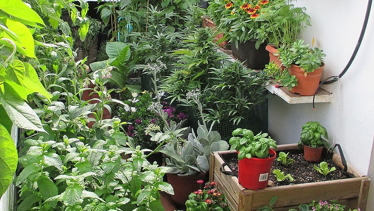 Companion plants for cannabis: companion planting
