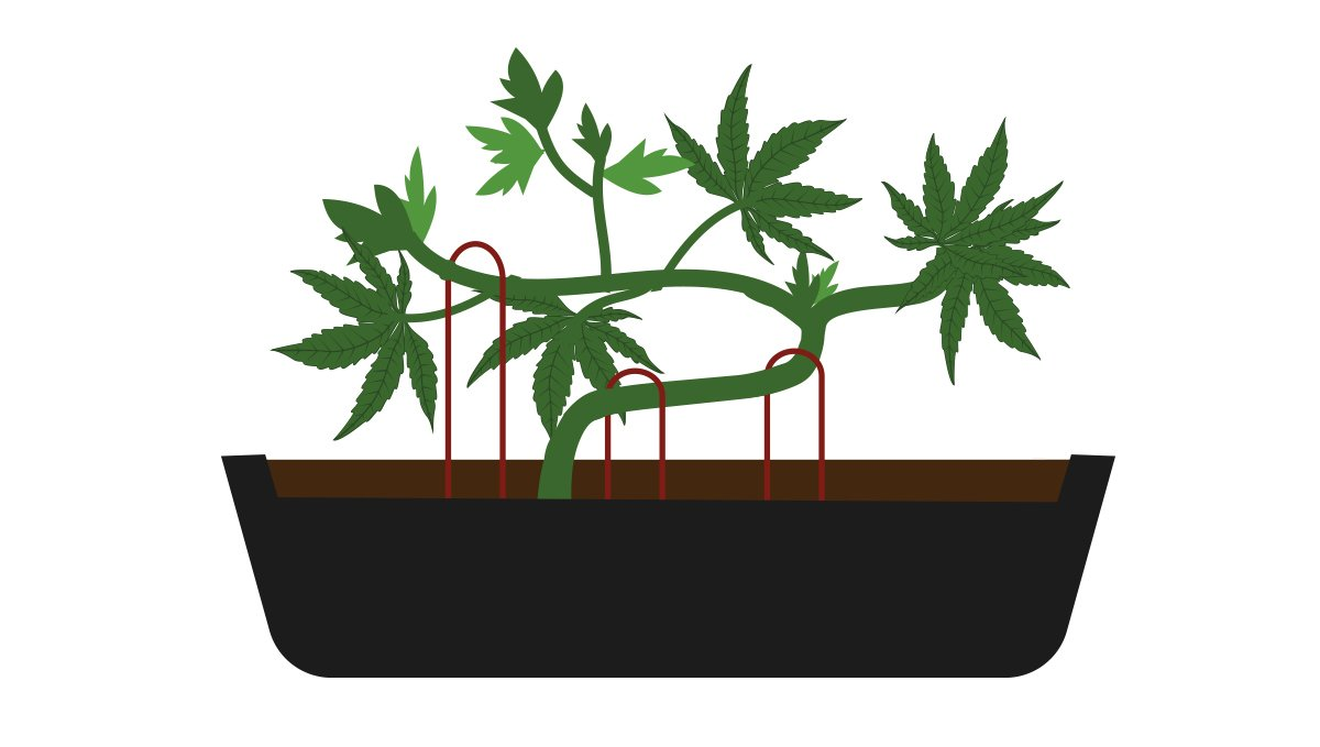 How to grow your own cannabis bonsai: providing support