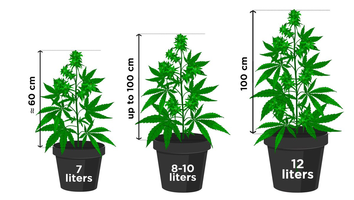 Growing Autoflowering Cannabis Outdoors: how big do autoflowers get?