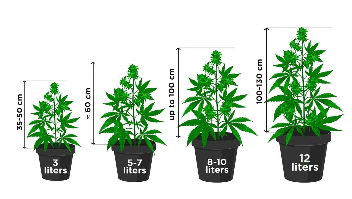 Cuántas Autoflorecientes Puedo Cultivar En Un Metro Cuadrado Semillas De Marihuana Autoflorecientes Fast Buds