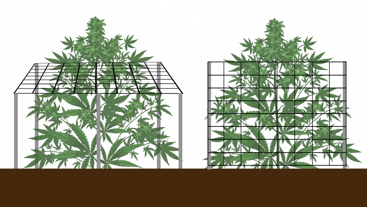 Growing Autoflowering Cannabis Outdoors: supporting plants with a trellis net