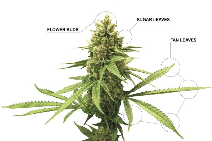 is weed a flower or a leaf