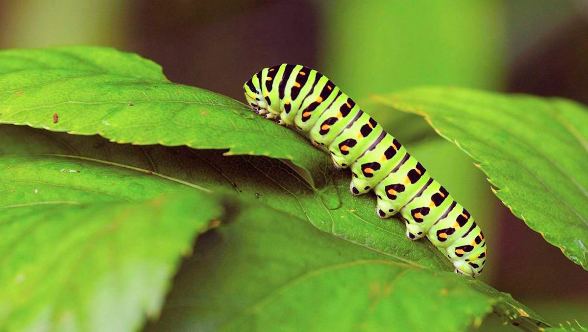 Caterpillars are a common pest found in cannabis plants.