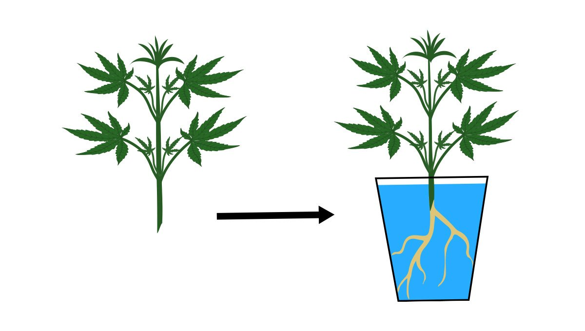 Monster cropping: how to root clones