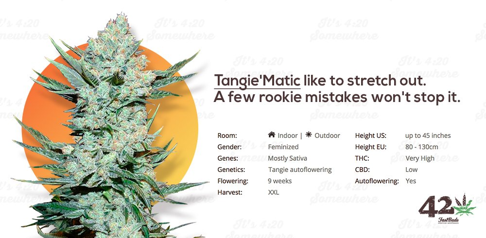Fast Buds' Autoflower Tangie, Tangie'Matic