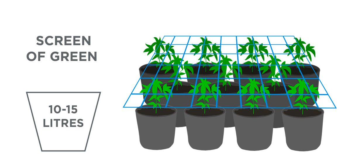 Best pot size for autoflowers: scrog