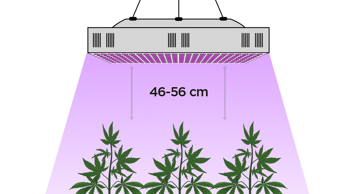 Grow Autoflowers with LEDs: distance