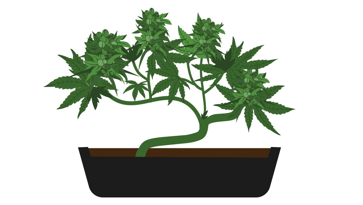 Cannabis Bonsai Tree
