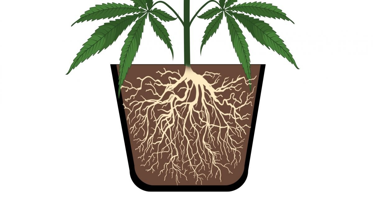 Cannabis plants anatomy: roots