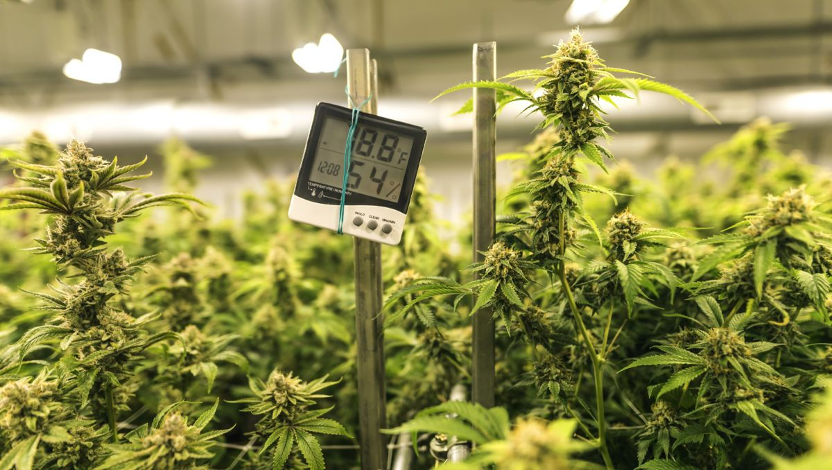 How much do autoflowers yield: top tips