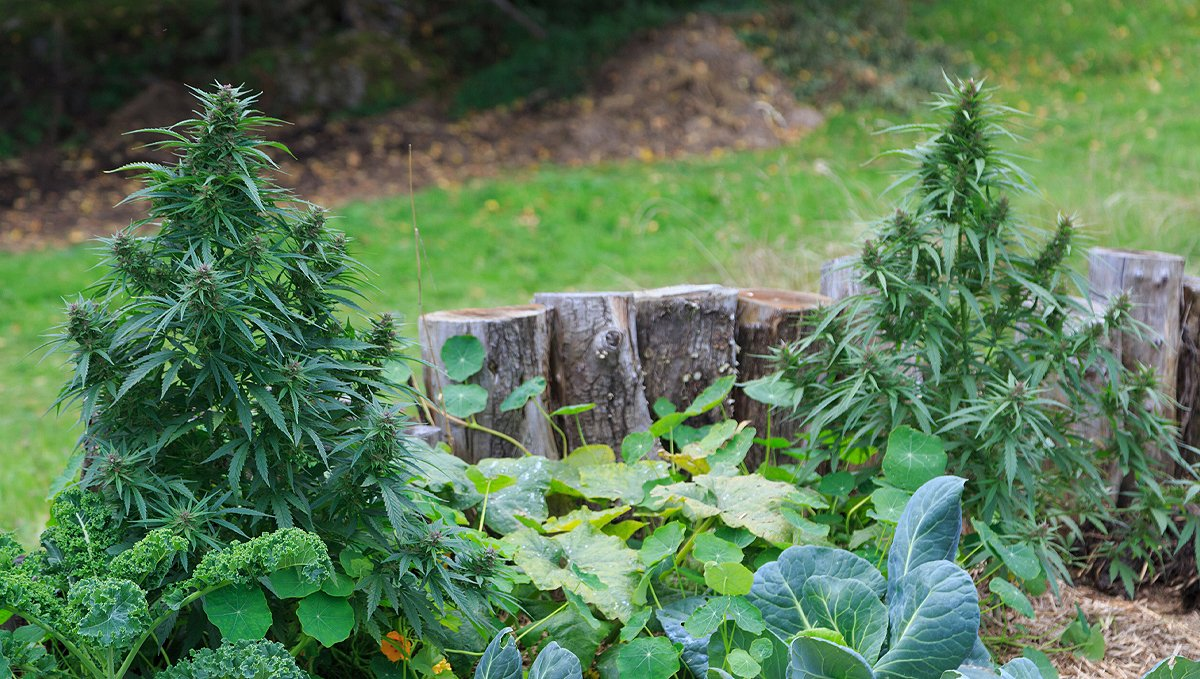 Companion plants for cannabis: types of companion plants