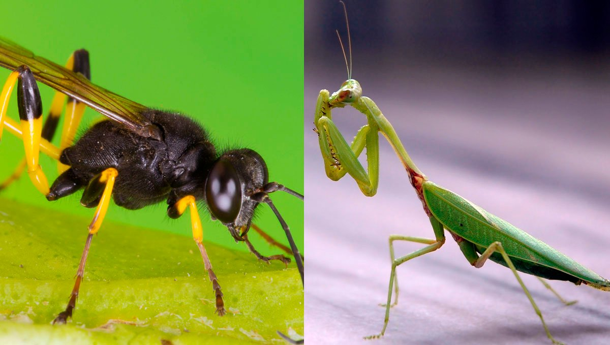 Predator species such as parasitic wasps and praying mantis will help get rid of caterpillars.