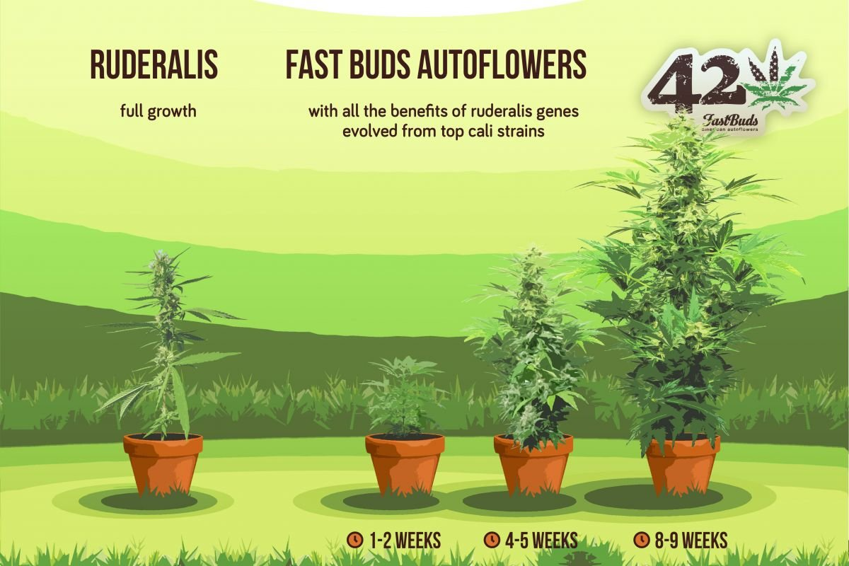 How we breed autoflowers