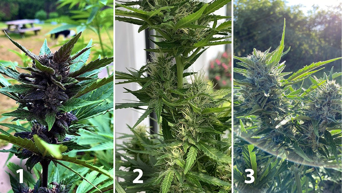 Outdoor cannabis grow in Italy: week 8 of plant growth