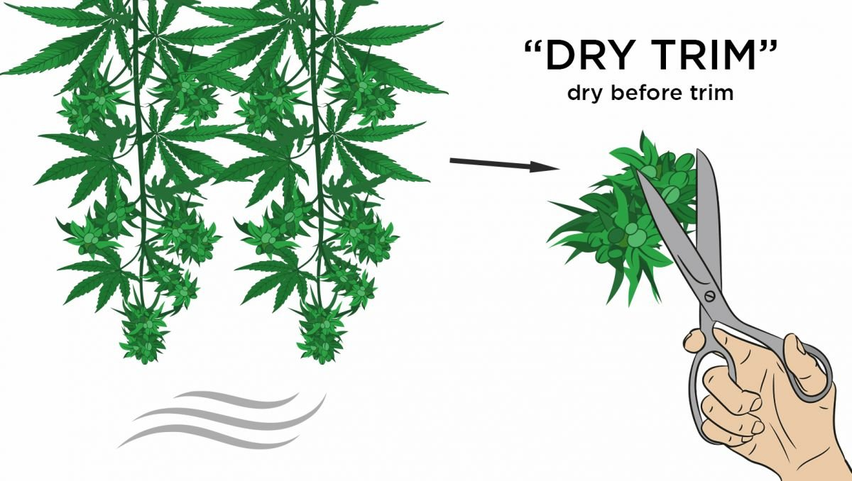 How to dry cannabis: dry trimming