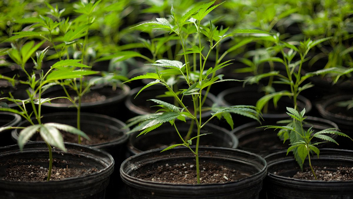 How the environment affects buds: ideal conditions growth