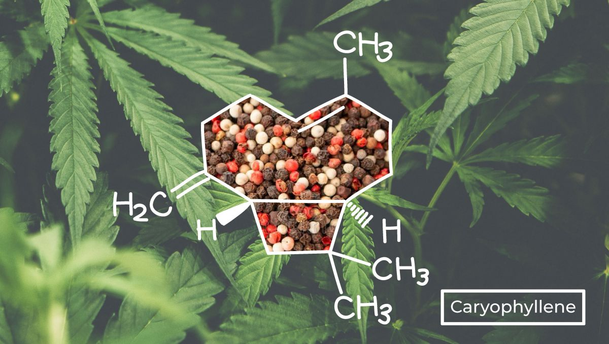Caryophyllene has a distinct molecular structure than other terpenes.
