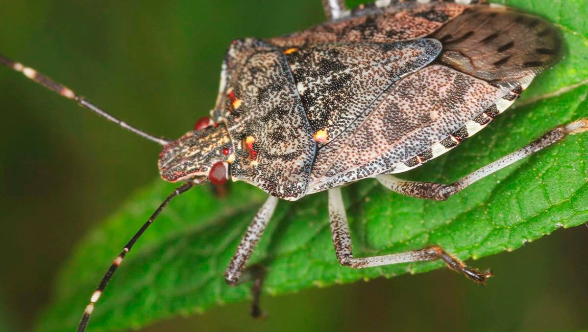 Watch out for any stink bugs on your cannabis plants as you do your daily checks.