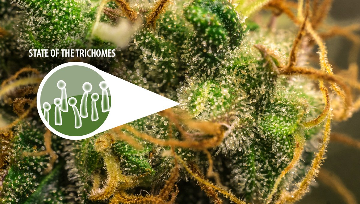 Harvest Your Autoflowering Cannabis: trichomes