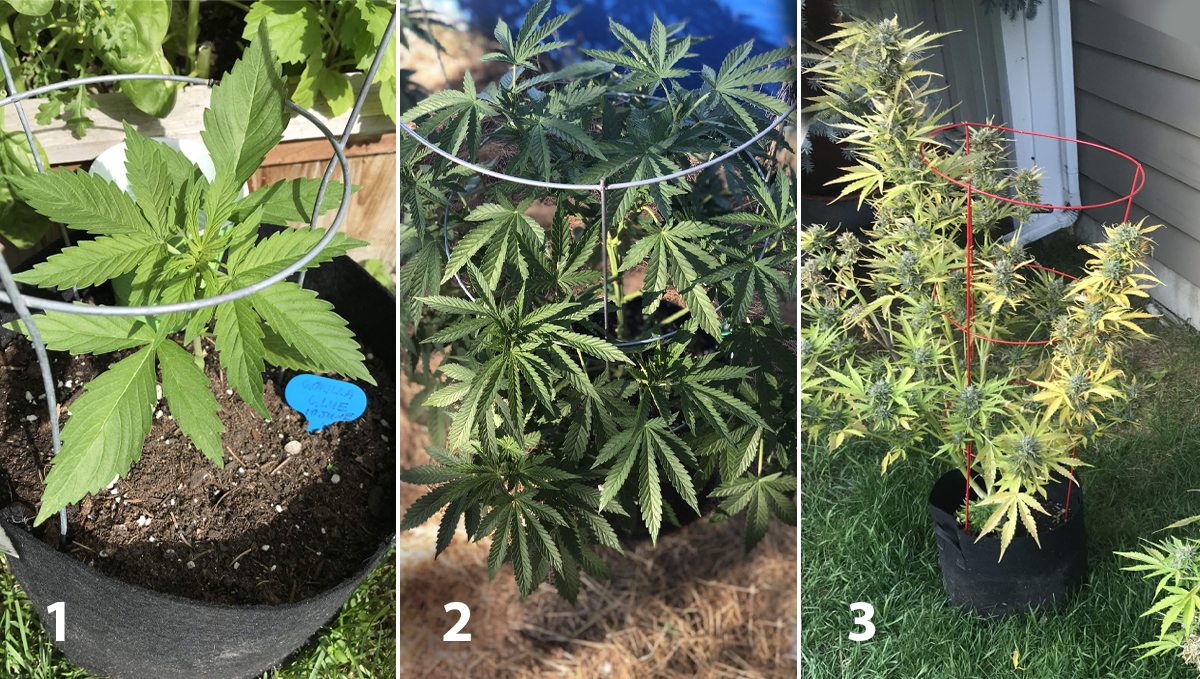Growing Autoflowering Cannabis Outdoors: supporting plants with tomato wire cages