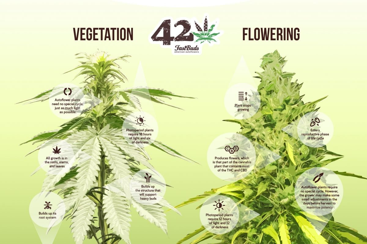 Cannabis in vegetation versus flowering