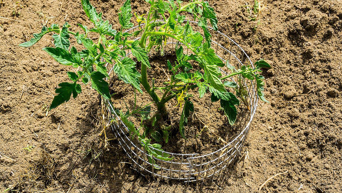Growing Autoflowering Cannabis Outdoors: protect your plants with a gopher wire cage