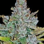 Blue Dream´matic