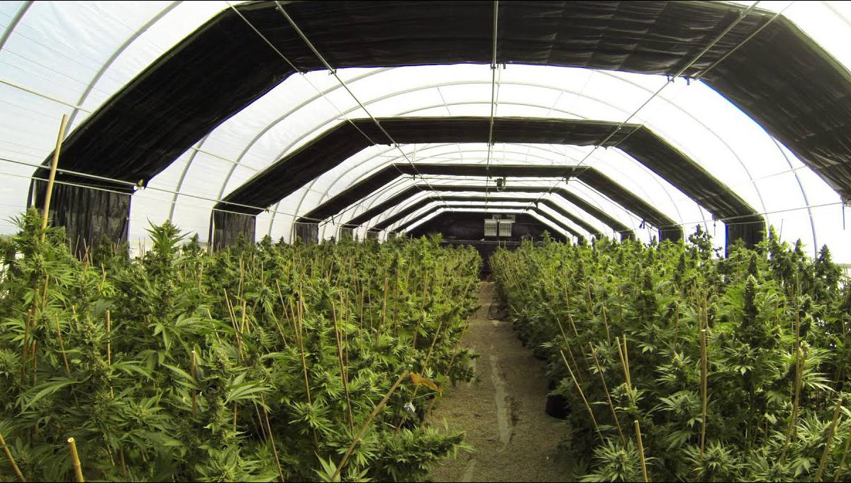 Light Deprivation Technique For Cannabis Grow