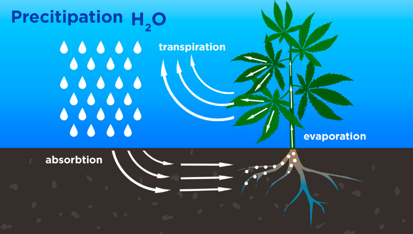 How Cannabis Plants Use Water and What To Know