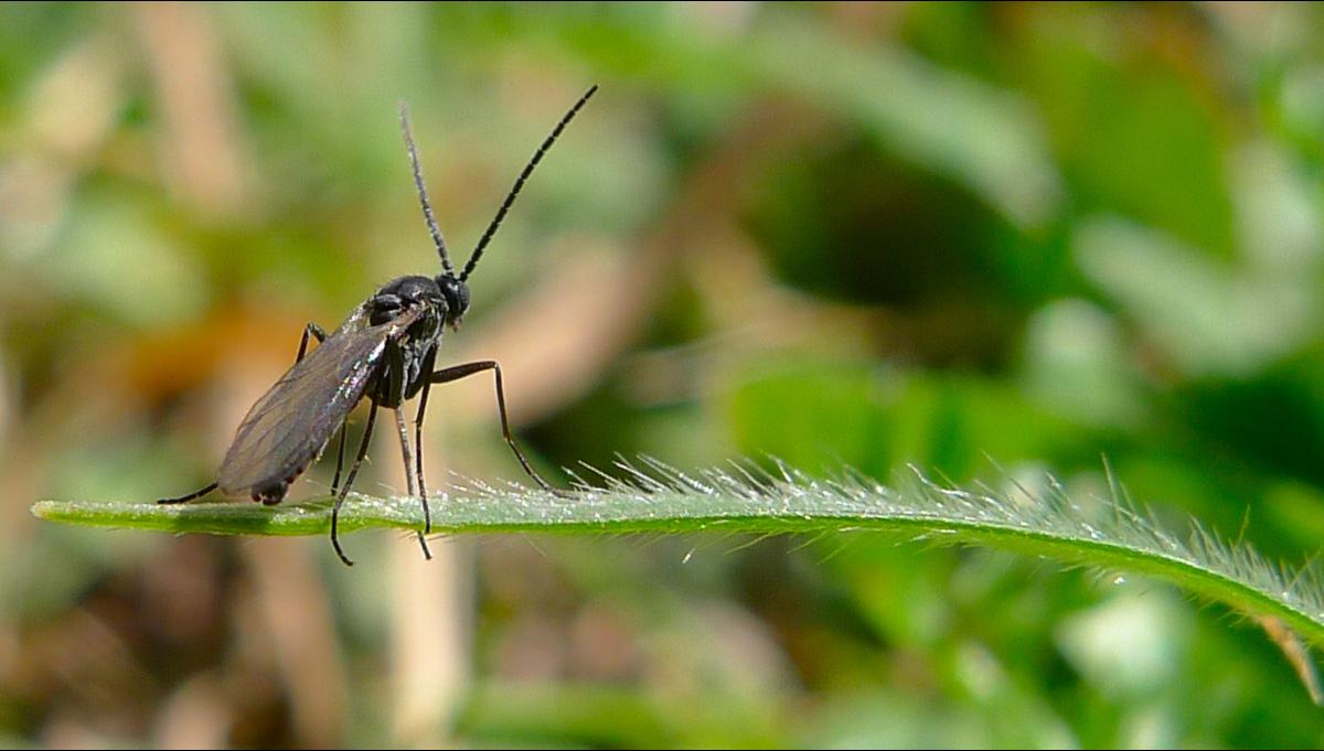 Mosquito de los hongos