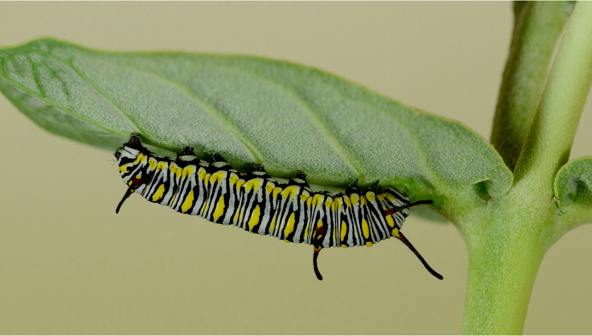 Most Common Pests in Cannabis: Caterpillars