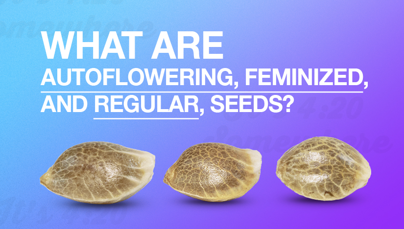 What Are Autoflowering, Feminized, and Regular Seeds?