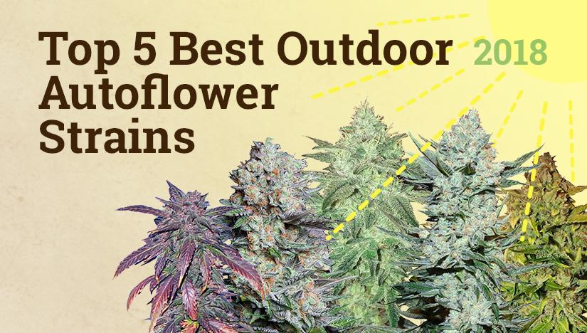 Top 5 Best Outdoor Autoflower Strains - Fast Buds