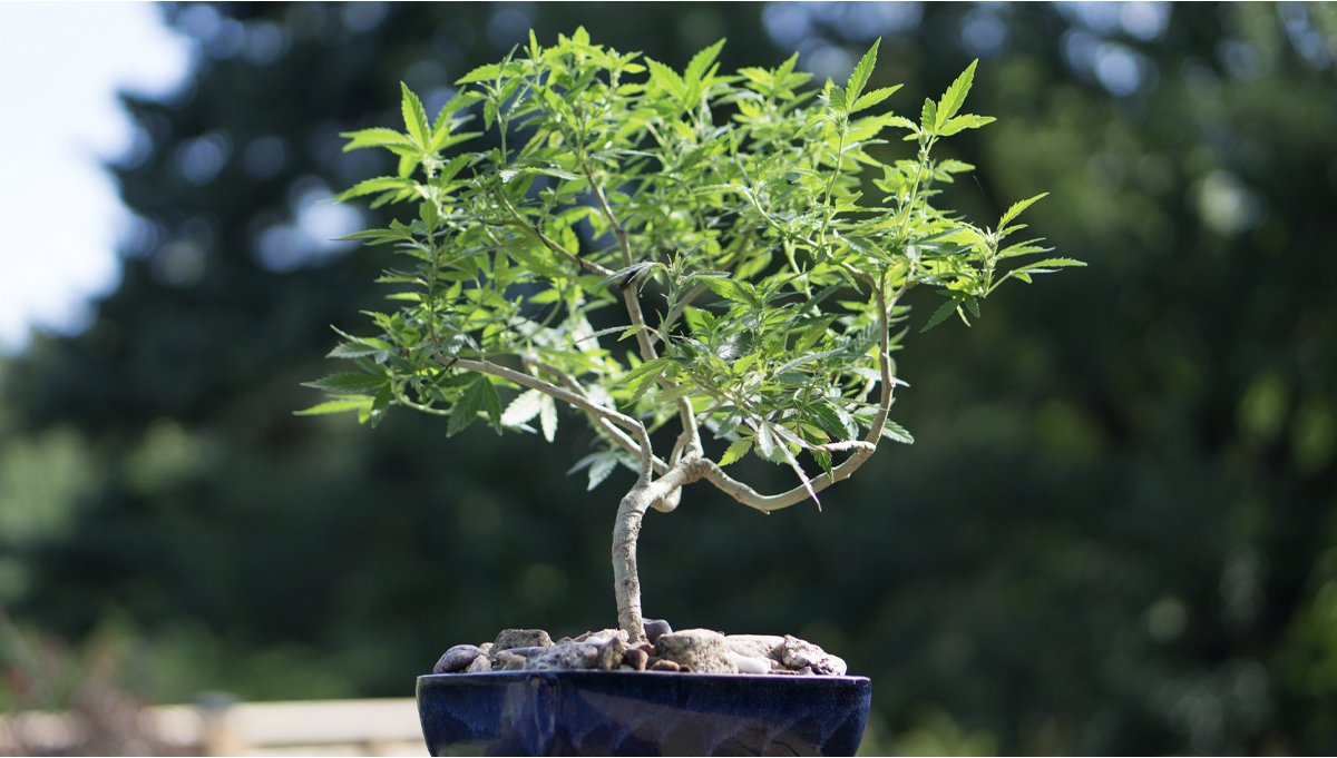 How To Grow Your Own Cannabis Bonsai: Step-by-Step Guide