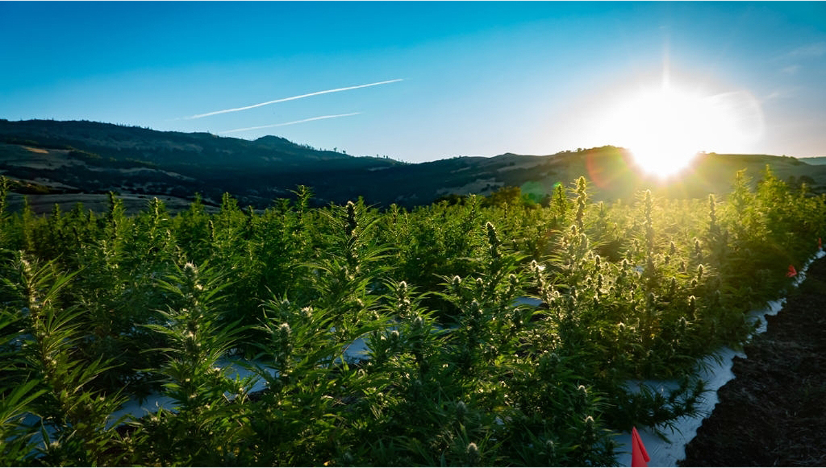How To Grow Autoflowering Cannabis Outdoors