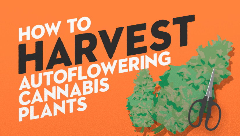 How To Harvest Autoflowering Cannabis Plants - Fast Buds