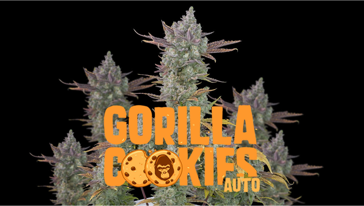 Gorilla Cookies Auto Cannabis Strain Week-by-Week Guide | FastBuds