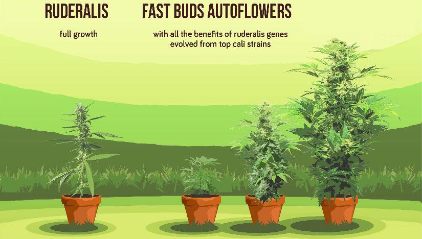 Che cosè la Cannabis Autofiorente?