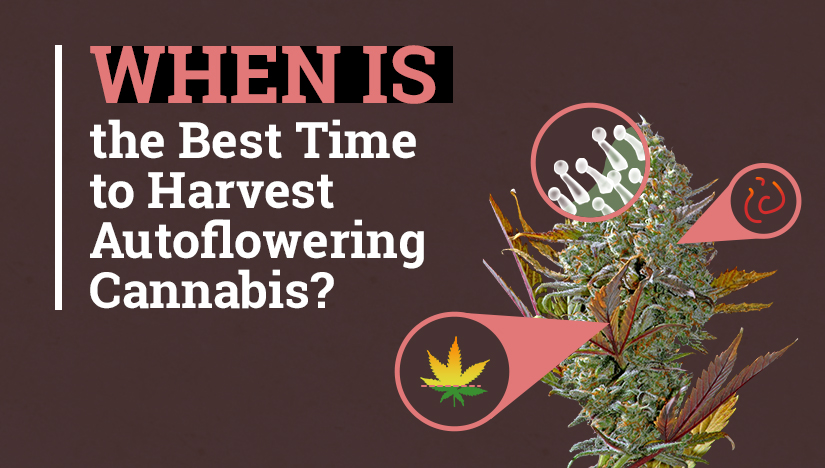 When is the Best Time to Harvest Autoflowering Cannabis