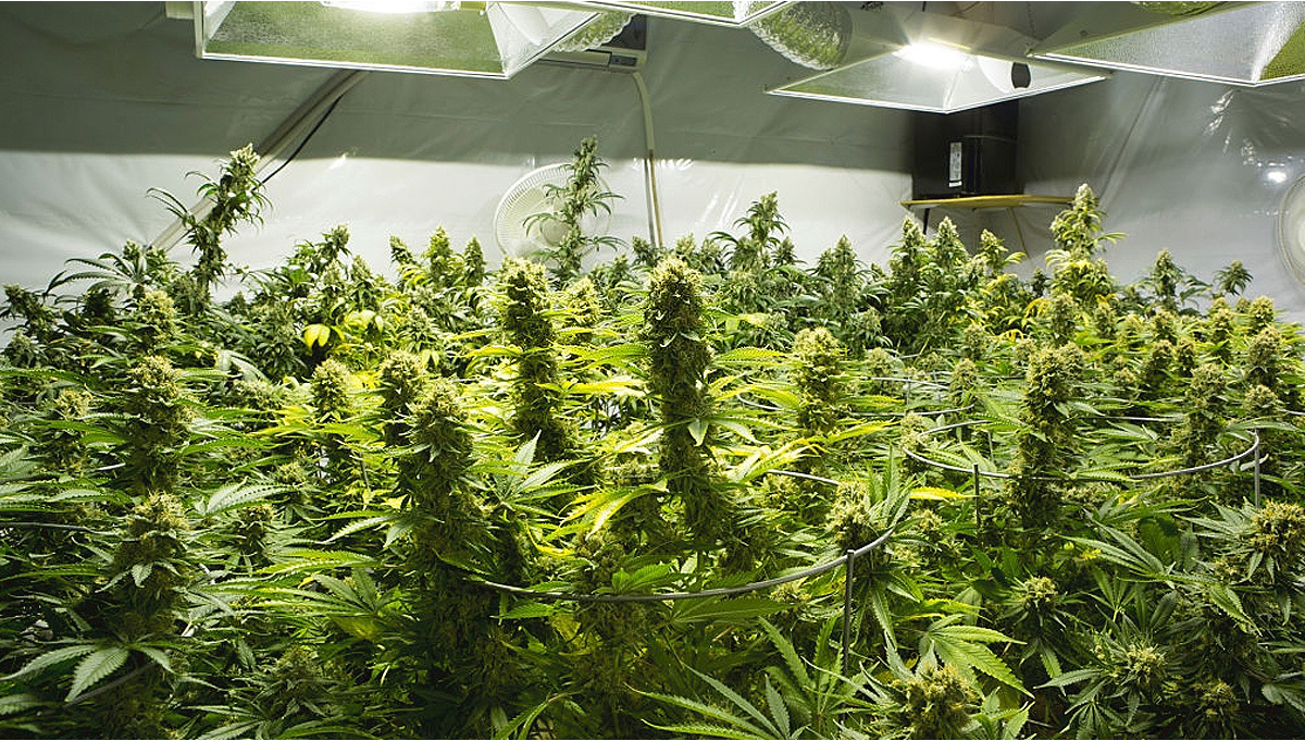 Best Light Schedule For Cannabis In The Flowering Stage